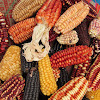 Variegated maize