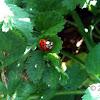 15 Spotted Ladybug