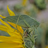 Angular Winged Katydid
