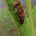 Band-eyed drone fly (Hoverfly)