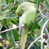 Rose-ringed Parakeet (female)