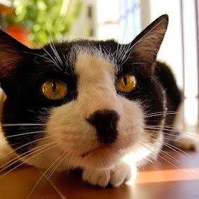 Pitucho by Ricardo Rocha - Animals - Cats Portraits ( #showusyourpets, cat, pet, #garyfongpets )