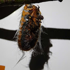 Giant Snowball Mealybug and Parasites