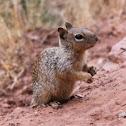 Rock squirrel - écureuil des rochers