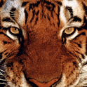 Animal (Tiger) icon