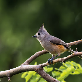 Young Crested Titmouse by Robert Marquis - Animals Birds ( bird, nature, black crested titmouse, texas, outdoors, wildlife, birds )