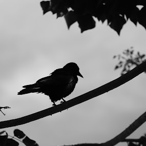 black & white by Elvis Gutierrez - Animals Birds (  )