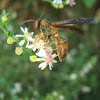 Brown Wasp