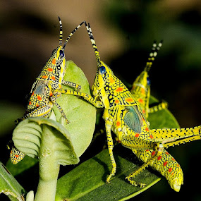 Made for each other by Sanjeev Goyal - Animals Insects & Spiders ( orange, blue, green, yellow, black,  )