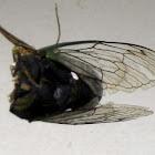 Dogday Harvestfly Cicada