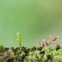 Zombie - Ant Fungus