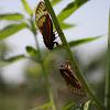 Periodical Cicada (13 year)