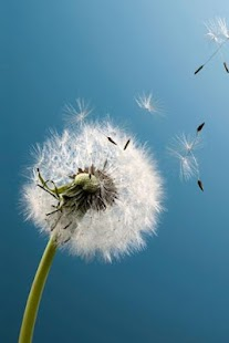 Galaxy S3 Dandelion LWP - screenshot thumbnail