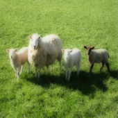 Sheep - Farm Sound Effects