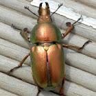 Golden staghorn beetle (Lamprima aurata)