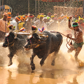 Buffalo race by Ramya Raju - News & Events Entertainment ( kambla, tulu nadu, buffalo race, india, karnataka,  )
