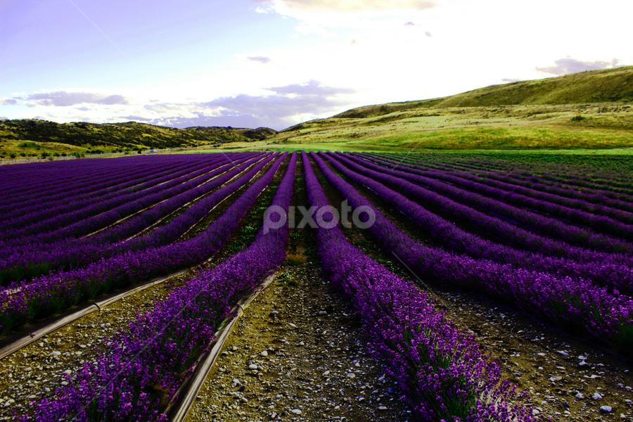 Lavender Fields by Kerri Back - Landscapes Prairies, Meadows & Fields ( lavender )