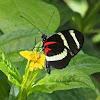 Pachinus Longwing
