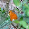European Robin/Petirrojo