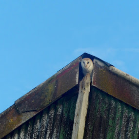 Adult barn owl by Charlotte Kay - Nature Up Close Other Natural Objects