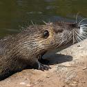 Nutria Rat OR Coypu