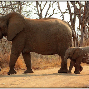 Elephant and Baby by Amanda Swanepoel - Animals Other Mammals (  )
