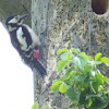 Greaater Spotted Woodpecker