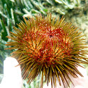 Sea urchin. Erizo común
