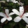 Fragrant hibiscus