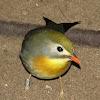 Pekin robin/Red-billed Leiothrix