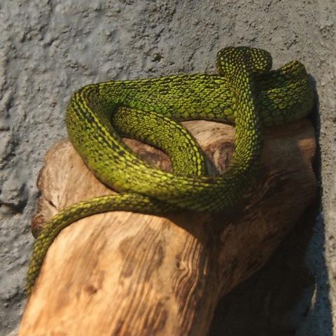 Black-speckled Palm-pit Viper | Project Noah