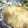 Smooth Brain Coral