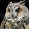 The Long-Eared Owl (Asio otus).jpg