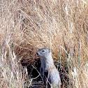 Belding Ground Squirrel aka Picket Pin