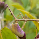 False Stick bug