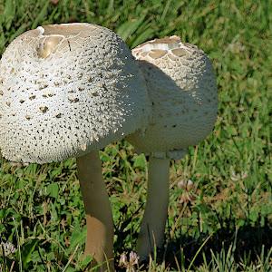 mushrooms2C.jpg