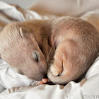 Baby Long-tailed Weasel