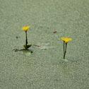 Yellow Floatingheart