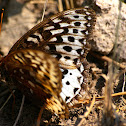 Great Spangled Fritillary (Female)