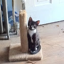 Domestic House Cat