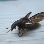 Platypus Rove Beetle