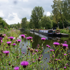 Thistles by the canal by Shona McQuilken - Landscapes Travel ( scotland, wild, thistle, purple, bee, green, long, boat, canal, flower,  )