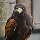Brown Hawk