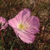 Evening primrose (οινοθήρα)
