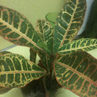"Croton ""Petra"" or Firebush"
