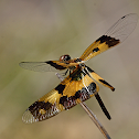 Flutterer (female)