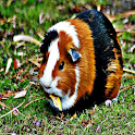 Guinea Pig Sound Effects logo