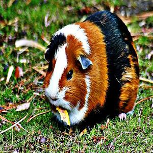 App Guinea Pig Sound Effects APK