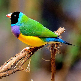by RJ Photographics - Novices Only Wildlife ( gouldian finch. )