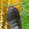 Botany Bay Cockroach
